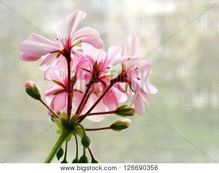 Geranium flower houseplant cultivation flora floristics botany nature