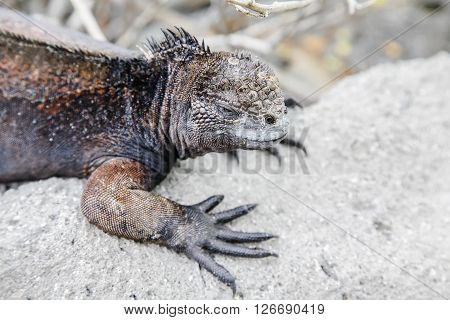 Small marine iguana walking through the rocks Galapagos