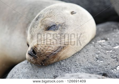 sea lion lying between rocks showing their mustaches Galapagos