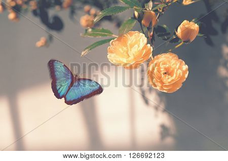 Morpho blue butterfly flying toward blossoming yellow flowers with warm tone filter