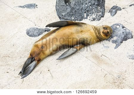 Lying on his back on the white sand of Galapagos Sea Lion