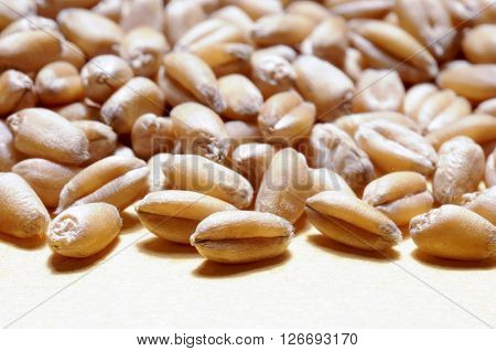 wheat grains close up