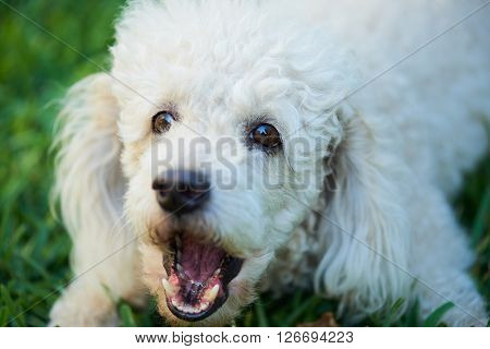 French Poodle Barking On Grass