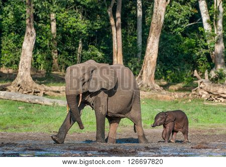 The Elephant Calf And Elephant Cow The African Forest Elephant, Loxodonta Africana Cyclotis. At The