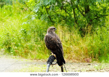 Common Buzzard beautiful portrait with green natural background