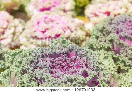 Close Up Fresh Cabbage (brassica Oleracea) Plant Leaves