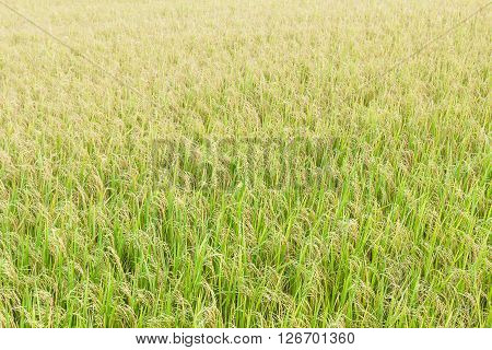 Close Up Top View Rice Fields