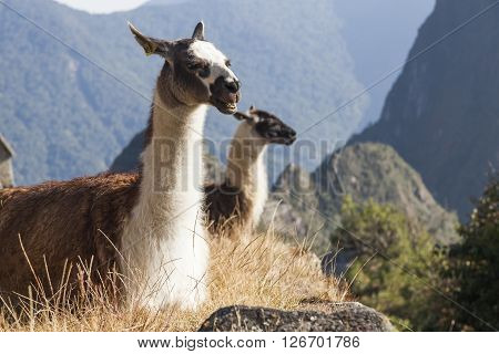 Llamas in Machu Picchu, it was designed Peruvian Historical Sanctuary in 1981 and a World Heritage Site by UNESCO in 1983.