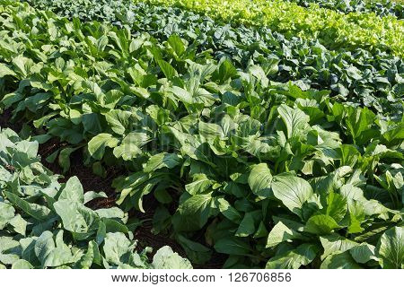 green lettuce vegetable of hydroponic cultivation, healthy food