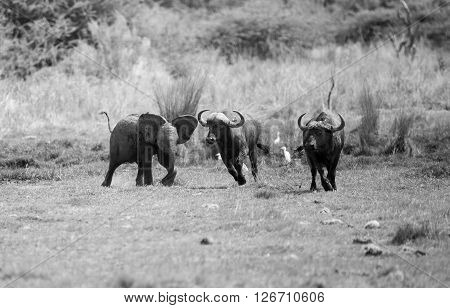 A young baby Elephant getting upset with a herd of buffalo chasing them away. In monochrome.