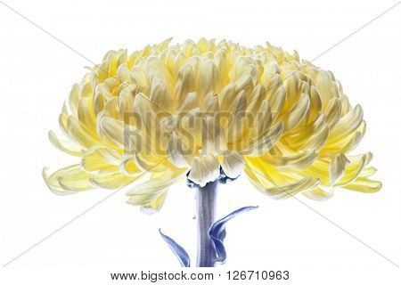 Dahlia flower isolated. Summer background