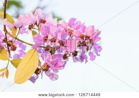 Pink Lagerstroemia macrocarpa flower blooming on tree