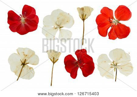 Pressed and dried red and white flowers of Geranium (Pelargonium). Isolated on white background.