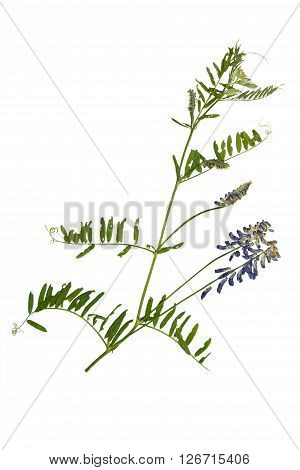 Pressed and dried blue flower forest peas. Forest peas Isolated on white background.