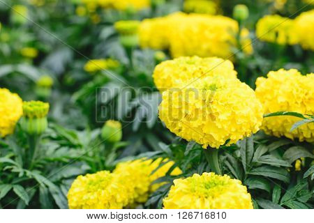 Yellow Marigolds flower (Tagetes erecta Mexican marigold Aztec marigold African marigold) ** Note: Soft Focus at 100%, best at smaller sizes