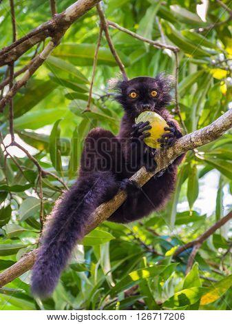 Close up portrait of black Lemur eating mango on Lokobe Strict Nature Reserve in Nosy Be Madagascar Africa