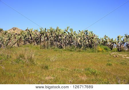 View of prickly pears plants in Sicily