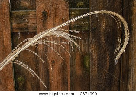 Weeping Grain