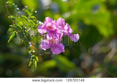 Common Foxglove flowersmany beautiful purple with white Common Foxglove flowers blooming in the garden ** Note: Shallow depth of field