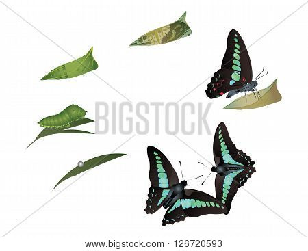 It is illustration of life cycle of common bluebottle butterfly.