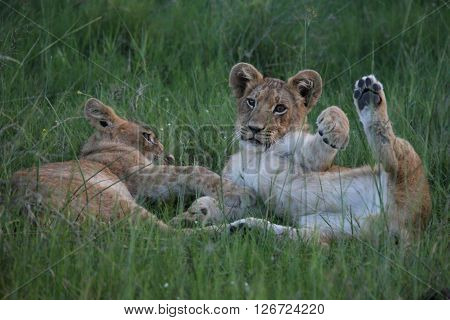 Playing Lion Wild Dangerous Mammal Africa Savannah Kenya