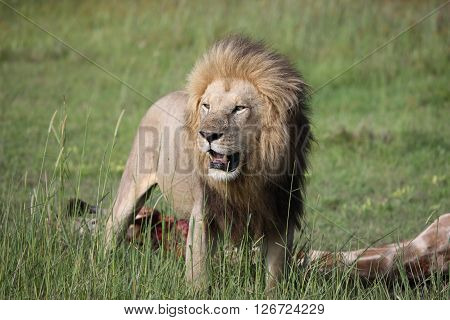 male lion wild dangerous mammal africa savannah Kenya