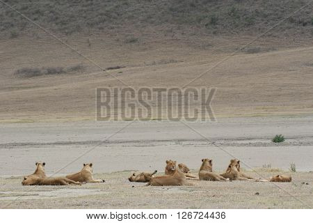 Lion Group Wild Dangerous Mammal Africa Savannah Kenya
