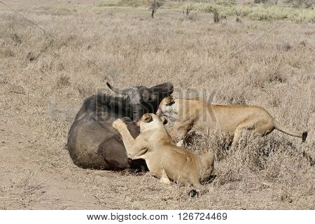 Lion Eating Bull In Blood After Hunting Wild Dangerous Mammal Africa Savannah Kenya