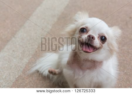 Chihuahua Small Dog Happy Smile