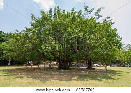 The big Ficus benjamina tree in the park