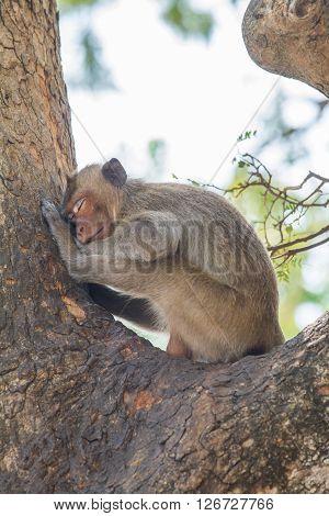Sleeping Mounkey On The Tree