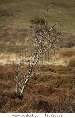 Bare, winter tree among moorland in England