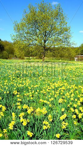 Daffodil field in spring in Trent Park London