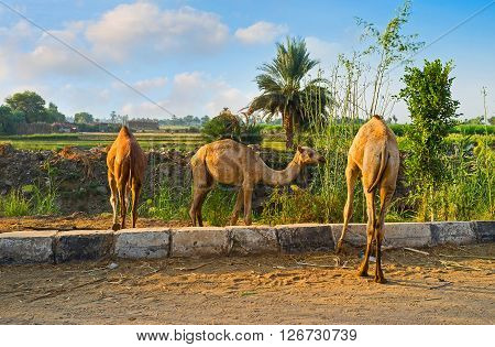 The camel colts are feeding along the road in Edfu suburb.