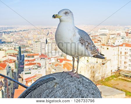 The herring gull stands on the hand rail of the top of Galata Tower with the Istanbul cityscape on the background Turkey.