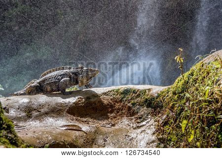 Iguana In The Forest Beside A Water Fall. Cuban Rock Iguana (cyclura Nubila), Also Known As The Cuba