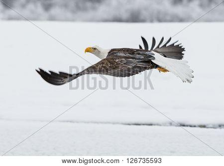 Bald Eagle ( Haliaeetus Leucocephalus Washingtoniensis ) Fly Up From Snow.