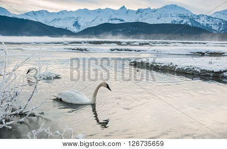 The Tundra Swans (cygnus Columbianus) Swim In The Freezing River.