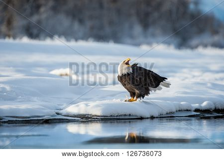 Shouting Bald Eagle On Snow. The Shouting Ba;d Eagle Sits On Snow To River Chilkat.