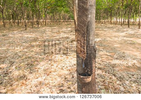 rubber tree farm at thailand as a source of natural rubber is planted economy
