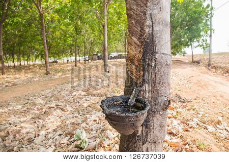 Old Rubber Tree Farm At Thailand As A Source Of Natural Rubber