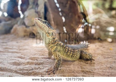 Close-up of a Sungazer Giant girdled lizard