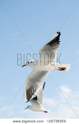 Seagull flying high in air with wings wide open