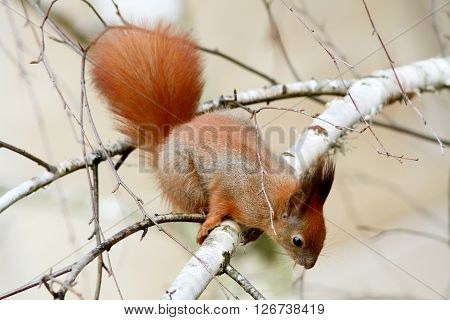 Red Squirrel Gnaws Buds Of Birch On A Branch