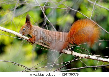 European Red Tree Squirrel On The Birch Tree