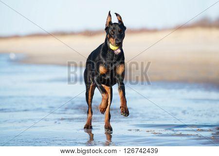 adorable doberman dog running on the beach