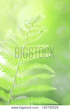 Natural backgrounds with fresh green fern leaves. Close-Up of Fern Leaf. Defocused backgraund. Blurred fern leaf. Selective focus used.