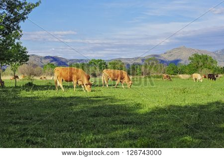 Cows grazing on a green lawn. In the background the Pyrenees. Green field.