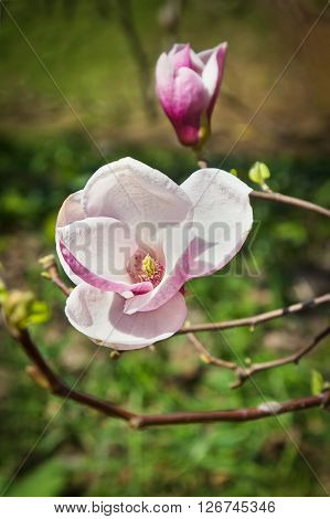 Blooming flower and burgeon of magnolia tree in springtime