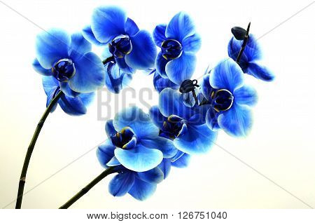 Orchid blue beautiful flower and white background